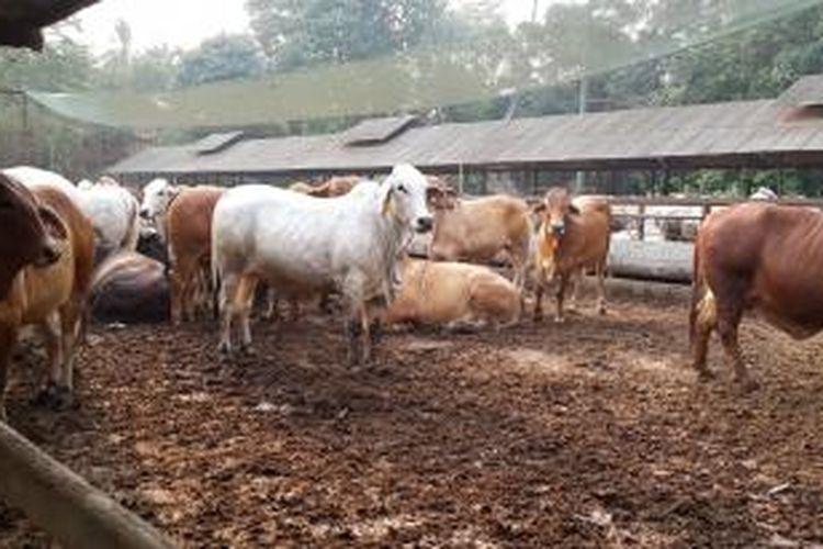 Ilustrasi peternakan sapi