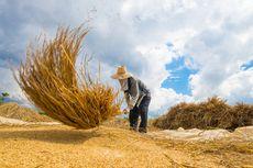 Luas Panen Padi Berpotensi Naik 10,79 Juta Hektar, BPS: Waspada La Nina