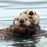 Ahli Ungkap Rahasia Kemampuan Berang-berang Laut Bertahan di Perairan Dingin
