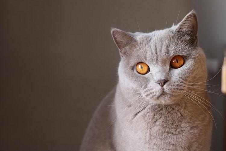 Ilustrasi kucing British Shorthair