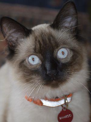 Ilustrasi kucing jenis Balinese.