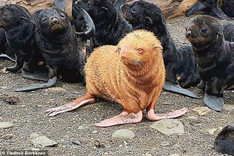 Ahli biologi Vladimir Burkanov mengatakan bahwa sejauh ini anjing laut berbulu di Pulau Tyuleny - yang dijuluki The Ugly Duckling - belum sepenuhnya terbuang, namun ada tanda-tanda anjing tersebut sedikit dijauhi.