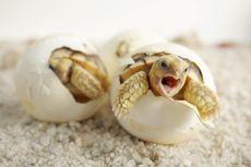 Telur Palsu Bantu Lacak Rantai Perdagangan Penyu, Kok Bisa?