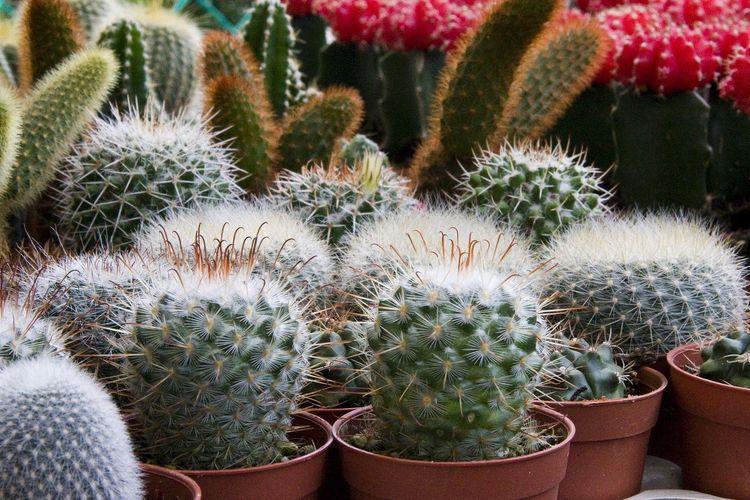 Ilustrasi tanaman kaktus.