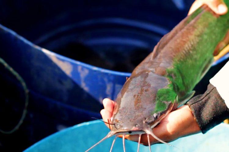 Potret Ikan Lele Bermutu Tiada Tara atau Lele Mutiara