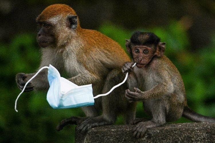Monyet Makaka terlihat mengunyah tali masker bekas sekali pakai.