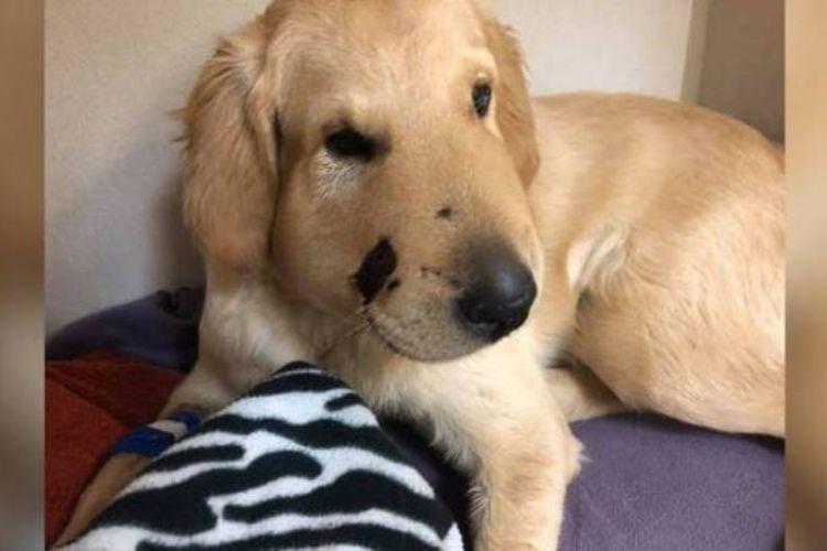 Muka dari anjing bernama Todd ini bengkak karena terkena gigitan ular. (Facebook/Paula Godwin)
