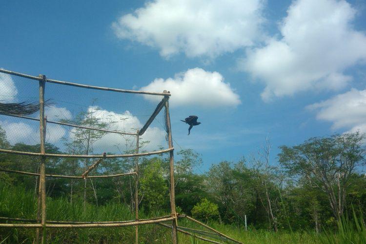 Seekor Elang Brontok (Nisaetus cirrhatus), dilepas liarkan di Stasiun Flora Fauna – Taman Hutan Raya Bunder, Playen, Gunungkidul, Yogyakarta. Minggu (25/2/2018).