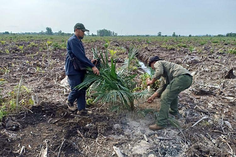 Petugas BBKSDA Riau memusnahkan tanaman sawit ilegal di kawasan hutan lindung SM Giam Siak Kecil di Desa Bukit Kerikil, Kecamatan Bandar Laksamana, Kabupaten Bengkalis, Riau, Jumat (18/5/2019).