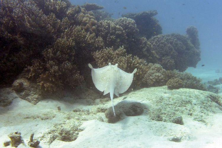 Berenang Di Lepas Pantai Pria Australia Tewas Tertusuk Ekor Ikan Pari
