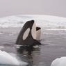Mengapa Paus Orca Disebut Paus Pembunuh?