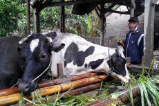 Erupsi Kelud, 21.000 Ternak Tak Sempat Diselamatkan