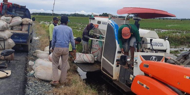 Duh! 250 Hektar Sawah di Kawasan Food Estate Pulang Pisau Siap Panen Raya