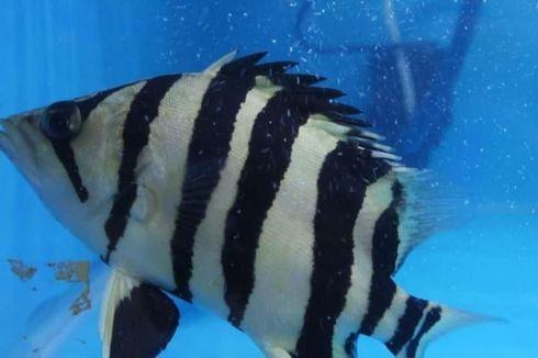Harga Jual Mencapai Rp 25 Juta, Tiger Fish Ramai Diburu Warga