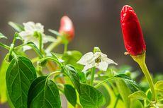 Penyebab Bunga Cabai Rontok dan Bagaimana Mengatasinya
