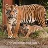 Cerita Pengunjung Soal Suasana Indonesia di Tiger Trek Taronga Zoo Australia