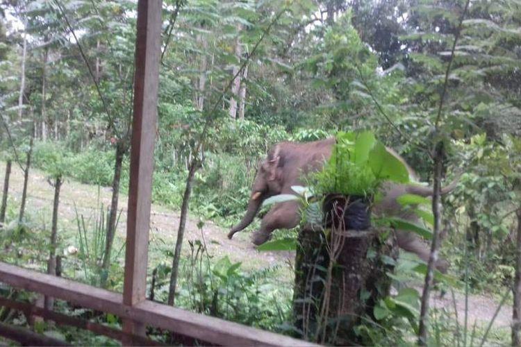 Foto dokumentasi Tgk Samsuar warga Geumpang, tiga ekor gajah liar turun ke pemukiman warga Desa Leupu, Kecamatan Geumpang, Kabupaten Pidie, Senin  (04/11/2018)