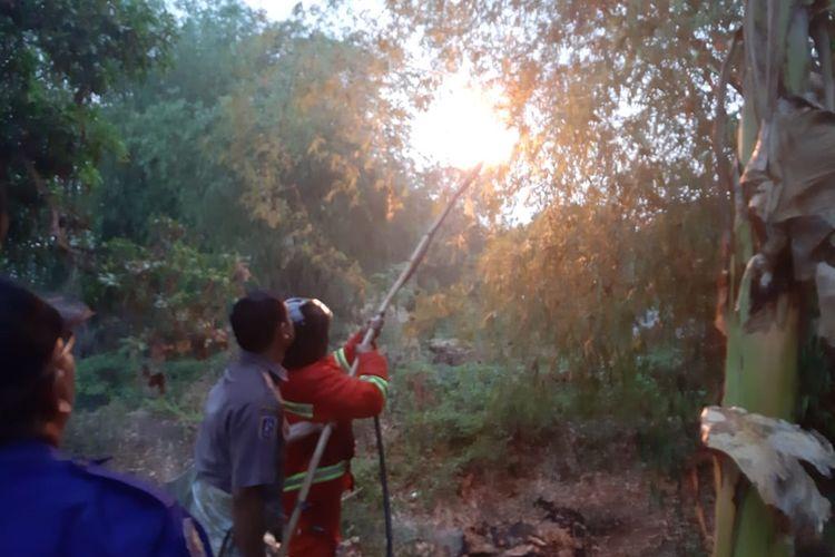 Petugas BPBD Tuban saat memusnahkan sarang tawon ndas, usai seorang warga meninggal dunia akibat serangan hewan tersebut.