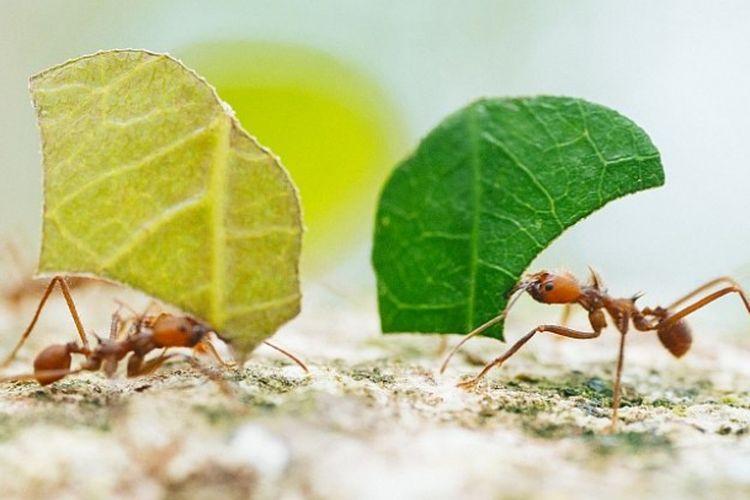 Semut daun