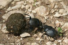 Kumbang Berusia 230 Juta Ditemukan di Kotoran Dinosaurus, Seperti Apa Wujudnya?