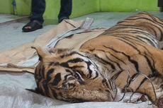 Harimau Sumatera Mati Terjerat di Hutan Industri, Ini Penjelasan Perusahaan