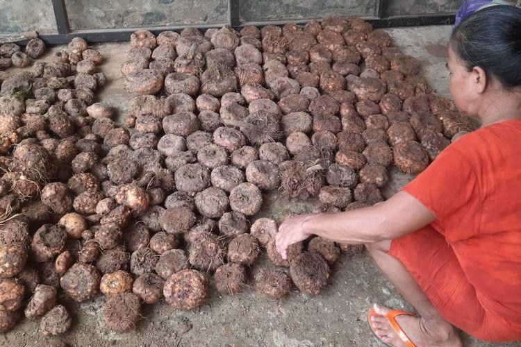 Bibit porang yang dibeli dari Surabaya siap ditanam petani di Tanah Bumbu, Kalsel yang mulai menekuni tanaman porang.