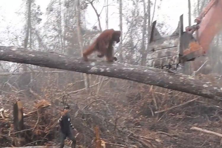 Orangutan menghadapi buldozer