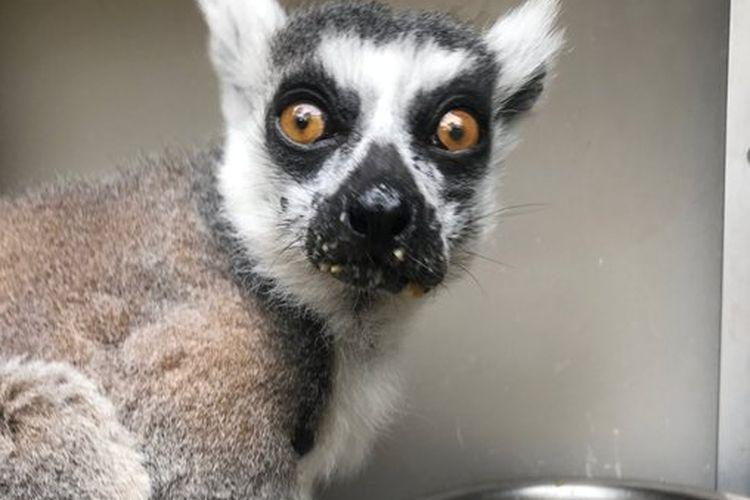 Foto seekor lemur bernama Maki yang dinyatakan hilang pada Rabu (14/10/2020) oleh Kebun Binatang San Francisco, Amerika Serikat (AS).