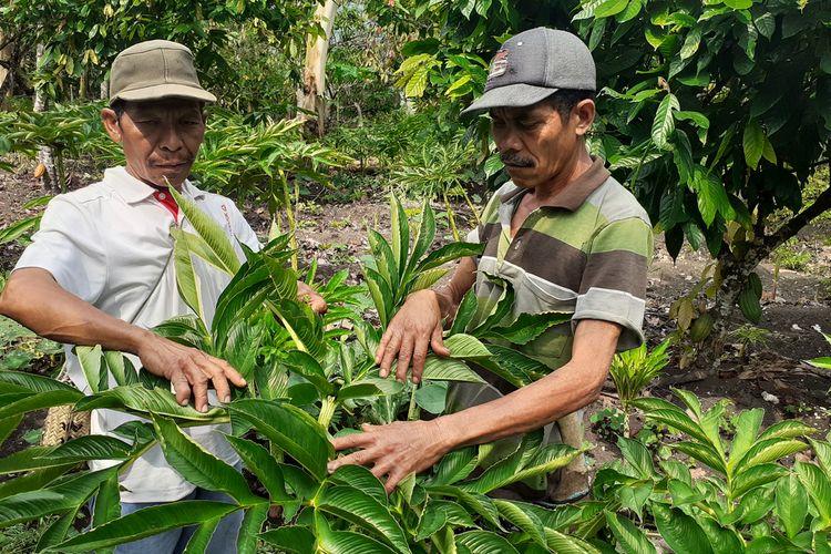 Desa Rana Kulang, Kecamatan Elar, Kabupaten Manggarai Timur, NTT menjadi pusat Tanaman porang. ribuan tanaman porang ditanam oleh petani dan juga ada petani milenial Porang di desa tersebut, Februari 2021. (KOMPAS.com/MARKUS MAKUR)