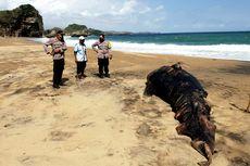 Bangkai Hiu Paus Sepanjang 5 Meter Ditemukan Nelayan Pantai Selatan Blitar