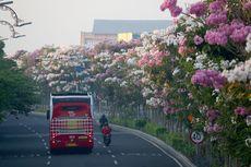 Ingin Menanam Pohon Tabebuya yang Mirip Bunga Sakura? Begini Caranya