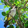 Lirik dan Chord Lagu Burung Kutilang, Karya Ibu Sud