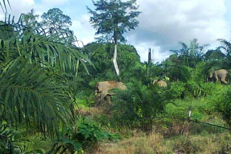 Gajah yang mengamuk di perkebunan warga Kecamatan Tulin Onsoi, Kabupaten Nunukan, Kalimantan Utara. Meski jumlah konflik gajah dengan masyarakat menurun di tahun 2017, tetapi kerusakan kebun sawit warga masih mencapai puluhan hingga ratusan hektar. Konflik ini karena habitat gajah sebagai tempat mencari makan berubah menjadi kebun sawit. (Foto Koleksi Adly Andra)
