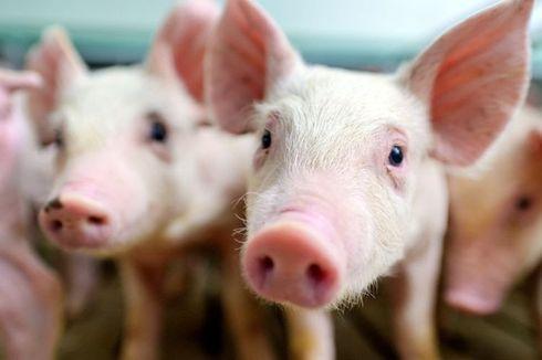 6.998 Ekor Babi di Pulau Timor, NTT, Mati Diserang Virus ASF