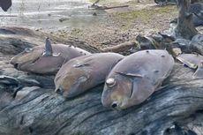 Gubernur Maluku Sebut Ribuan Ikan Mati Misterius karena Ledakan Bawah Laut