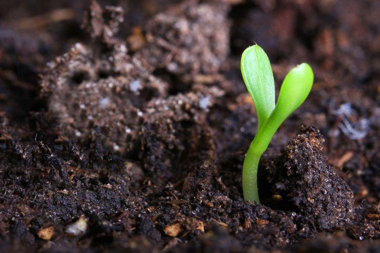 tanah porang