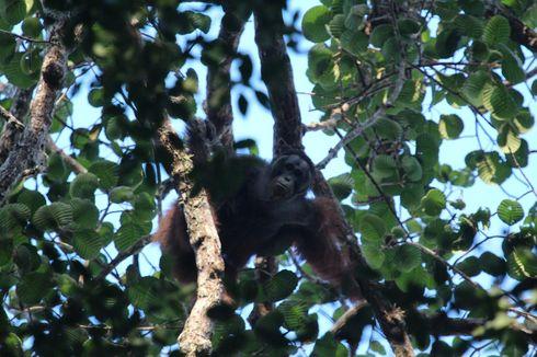 Wehea-Kelay, Tempat Ekowisata dan Rumah Orangutan di Kalimantan Timur