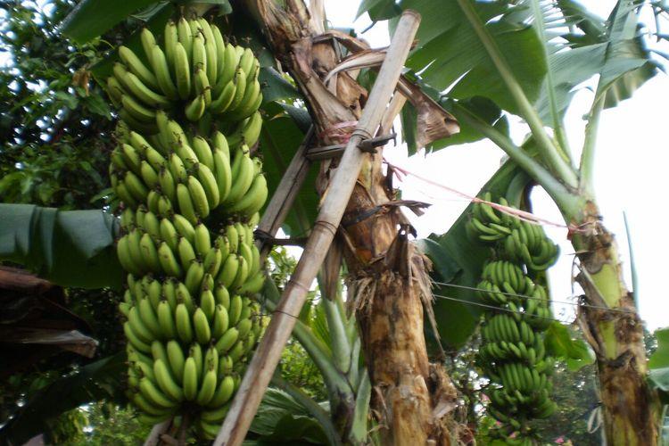 Ilustrasi panen pisang