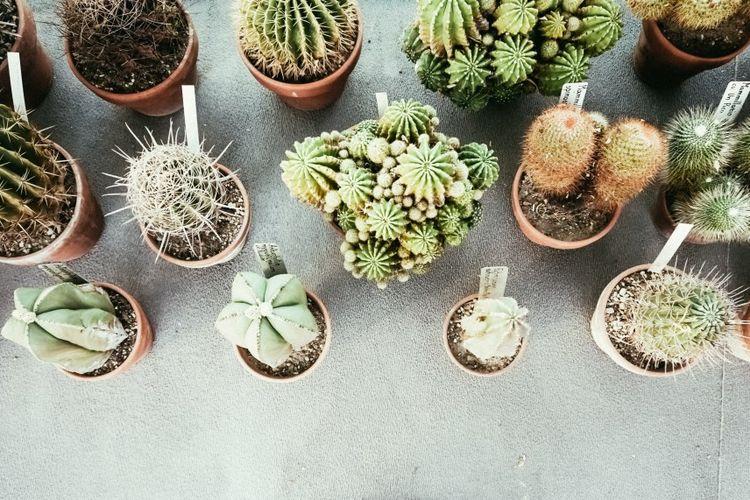 Begini Cara Merawat Kaktus Di Dalam Rumah Halaman All