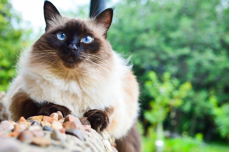 Ilustrasi kucing Balinese.