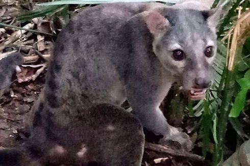Cerita di Balik Foto Musang Sulawesi, Si Pemalu yang Misterius