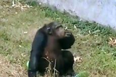 Viral, Simpanse di Kebun Binatang China Isap Rokok yang Dilempar Pengunjung