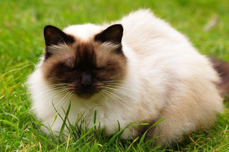 Ilustrasi kucing jenis Himalayan.