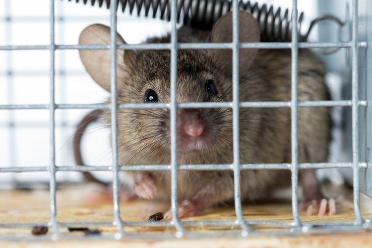 Ilustrasi tikus di dalam perangkap, perangkap tikus.