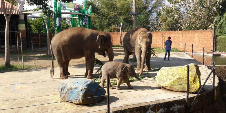 Anakan gajah sumatera yang baru keluar pertama kali dari kandangnya bersama induknya di Batu Secret Zoo, Kota Batu, Jawa Timur, Rabu (4/10/2017).