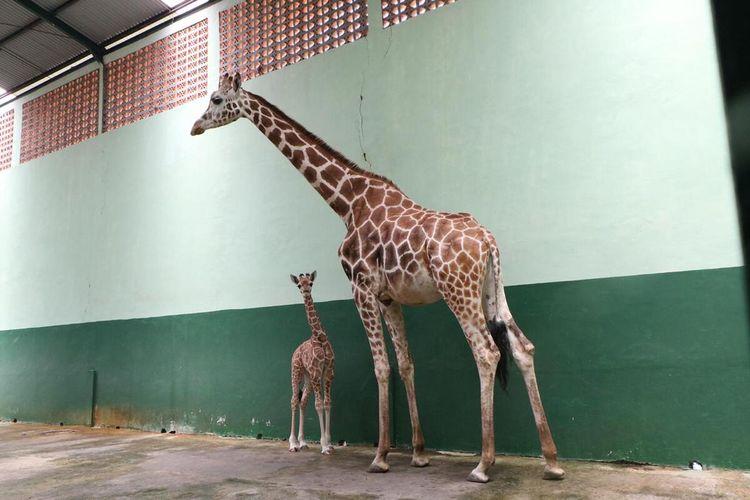 Bayi jerapah bernama corona yang lahir di Taman Safari Prigen, Kabupaten Pasuruan.