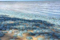 Ratusan Ubur-ubur Biru Terdampar di Pantai Brisbane