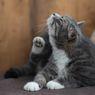 5 Cara Menghilangkan Kutu Kucing yang Mengganggu