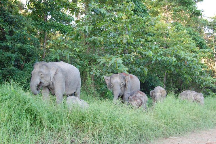 Kawanan gajah liar terlihat di Malaysia.