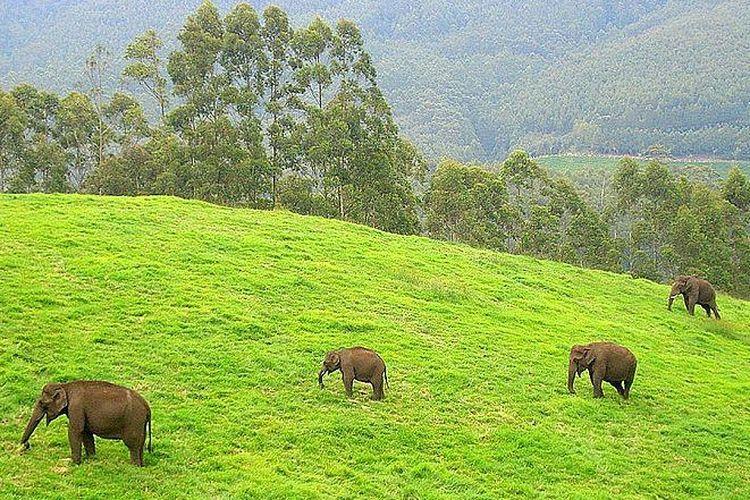 Sekelompok gajah di Kerala, India.